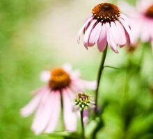 Sun lit petals ...  by karenanderson