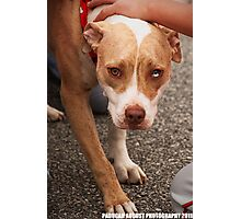 Pit Bull Photographic Print