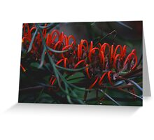 Grevillea blood orange Greeting Card