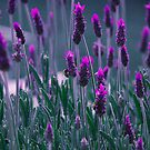 Lavender by Steven Vogel