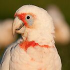Long-billed Corella, Centennial Park, Sydney by Erik Schlogl