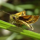 Greenish Grass-dart (Ocybadistes walkeri) - Kensington Gardens, South Australia by Dan & Emma Monceaux
