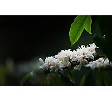 Coffee flower Photographic Print