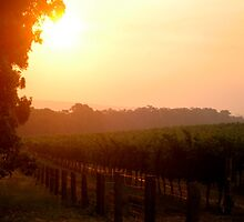 Sunset in a vineyard by CindyinSydney
