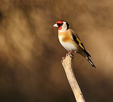 Goldfinch by Grant Glendinning