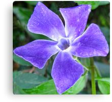 Shining Vinca Flower Canvas Print
