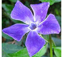 Shining Vinca Flower Photographic Print