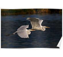 Great White Egrets II Poster