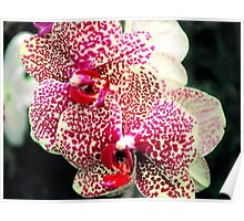 Orchid Collection - 12 Poster