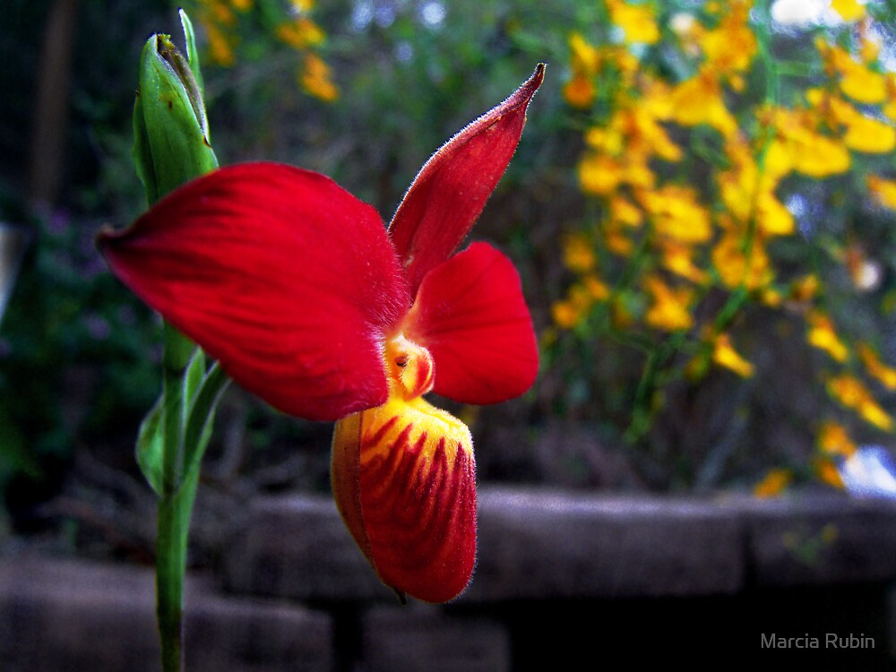 Orchid Collection - 14 by Marcia Rubin