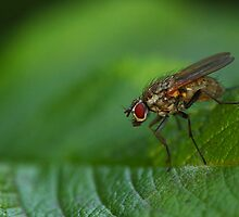 Fly on a leaf by Jouko Mikkola