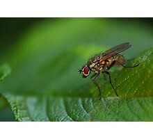 Fly on a leaf Photographic Print