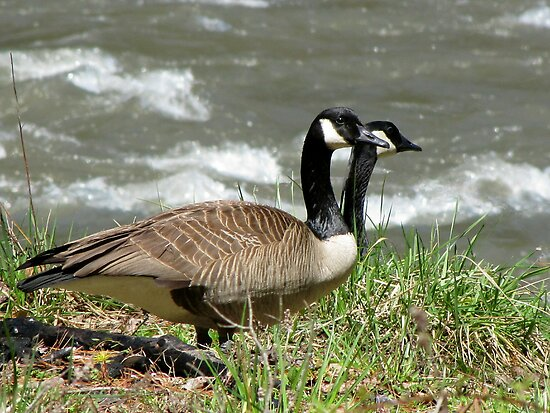 Rare Two-Headed Canada Goose by Jean Gregory  Evans