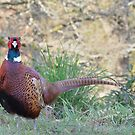 Pheasant (3) by Stephen Frost