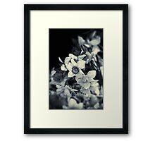 Narcissi II Framed Print