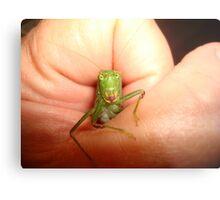 Safe in my hand...a katydid Metal Print
