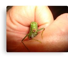 Safe in my hand...a katydid Canvas Print