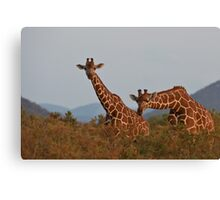 Reticulated Giraffe - Samburu National Park, Kenya Canvas Print