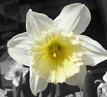Daffodil by Vicki Spindler (VHS Photography)