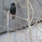 HvsV - European Starling by BTroy
