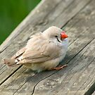 Small Bird on Wood Plank by Randall Ingalls