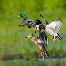 Mallard Duck Trio by Randall Ingalls