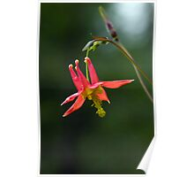 Wild Columbine Wildflower Poster