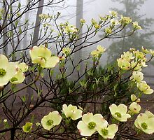 Early Dogwood Blooms by Kate Eller