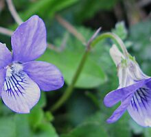 Violets Are Blue - Lyme , Dorset , Uk by lynn carter