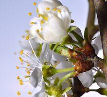 damson blossom (3) by Steve