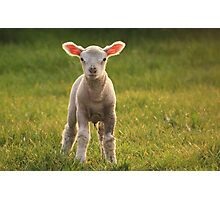 Larry lamb and his lovely pink ears! Photographic Print