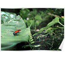 Strawberry Poison Dart Frog  Poster