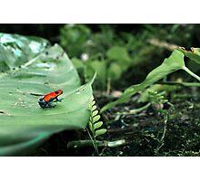 Strawberry Poison Dart Frog  Photographic Print