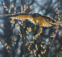 Red-Tailed Hawk On The Hunt by GaryColvard