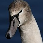 Juvenile Mute Swan. by Mark Hughes