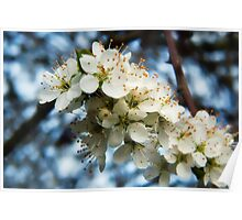Hawthorn Blossom Poster
