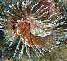 Feather Duster Worm by Leon Heyns