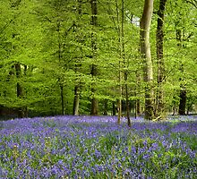 Bluebell Wood by photontrappist