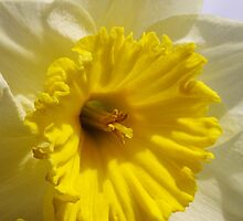 delightful daffodil close up  by dedmanshootn