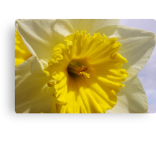 delightful daffodil close up  Canvas Print