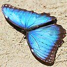 Blue morpho butterfly by jozi1