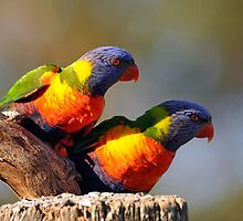 Rainbow Lorikeets. Brisbane, Queensland, Australia. by Ralph de Zilva