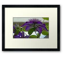 -Multi-Blue Clematis Framed Print