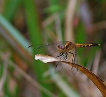 Yellow-black dragonfly by Ben Waggoner