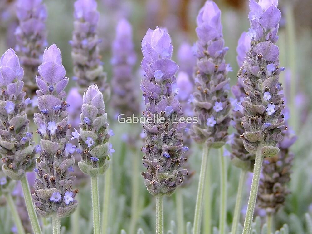 Lavender Blues! by Gabrielle  Lees