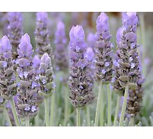 Lavender Blues! Photographic Print