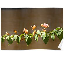 Bougainvillea new buds  Poster