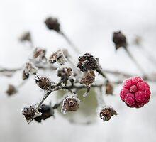 Frozen Raspberry by Andy-Kim Möller