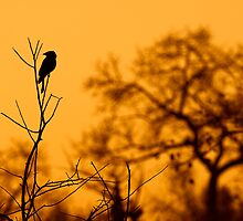 Drongo in the sundown by Andy-Kim Möller