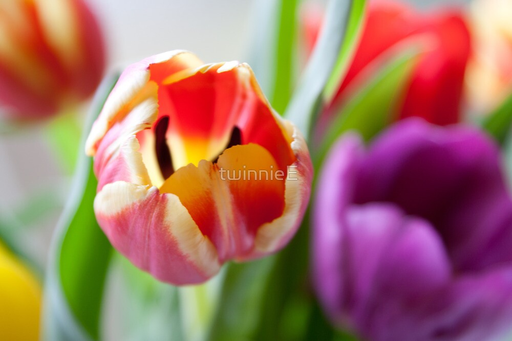 Tulips from Amsterdam by twinnieE